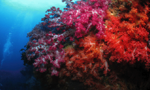 Soft coral off the coast of Jeju, which will likely be destroyed if the naval base goes forward (Photo by indepedent environmental assessment team).