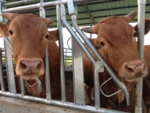 south-korean-cattle-beef-food-sovereignty-hansalim