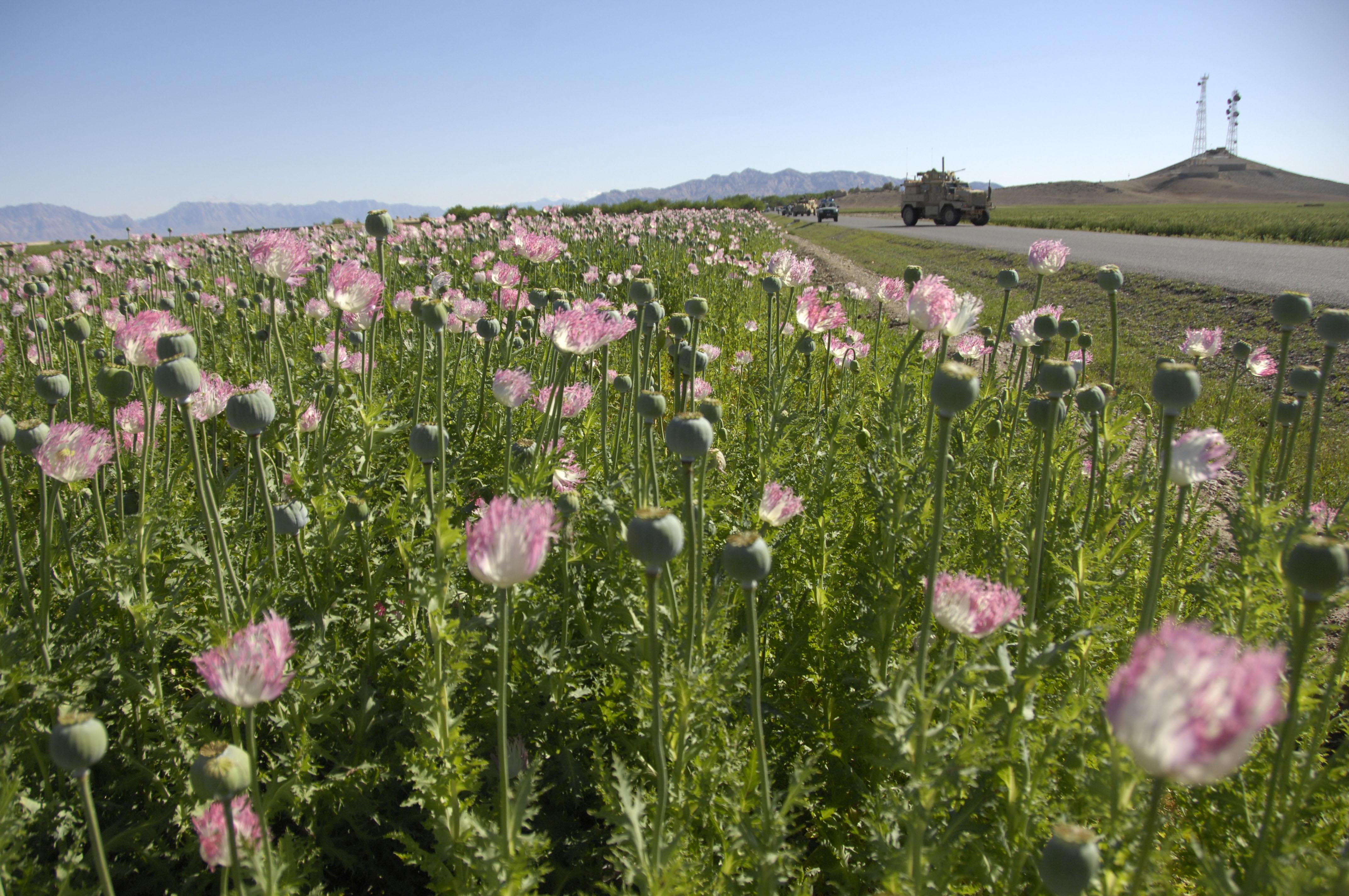opium-field-afghanistan-pink-flower